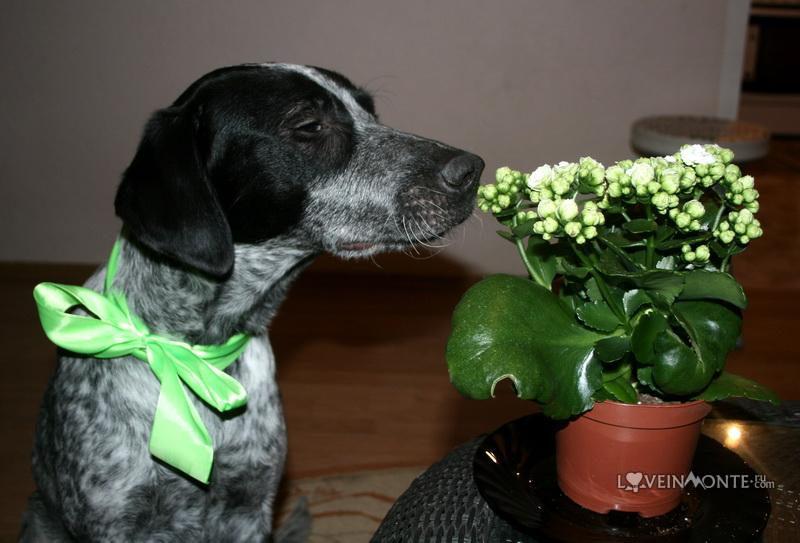 Поинтер Бастиан и цветок
