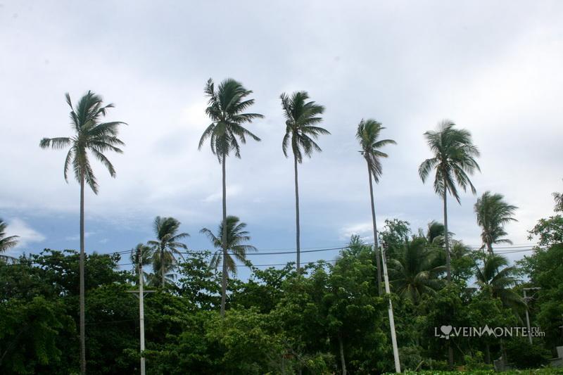 Пальмы на Самуи