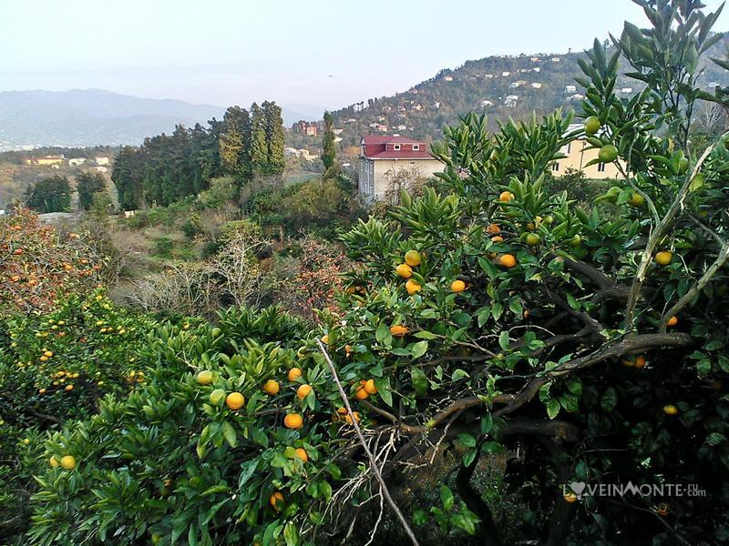 Мандариновый сад